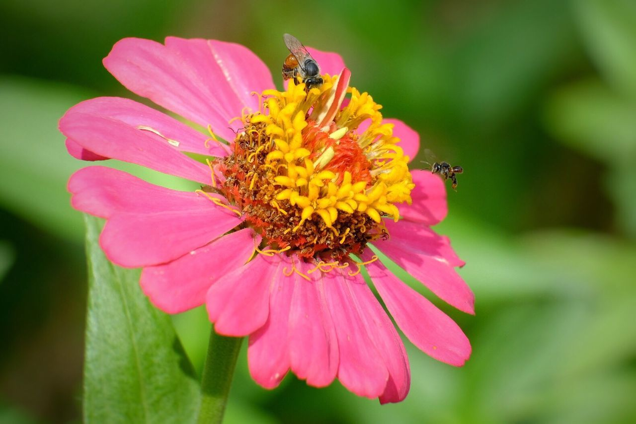 flower, petal, fragility, growth, one animal, beauty in nature, nature, flower head, freshness, insect, animal themes, plant, animals in the wild, focus on foreground, pollen, day, blooming, bee, no people, outdoors, pollination, close-up, animal wildlife, zinnia, buzzing