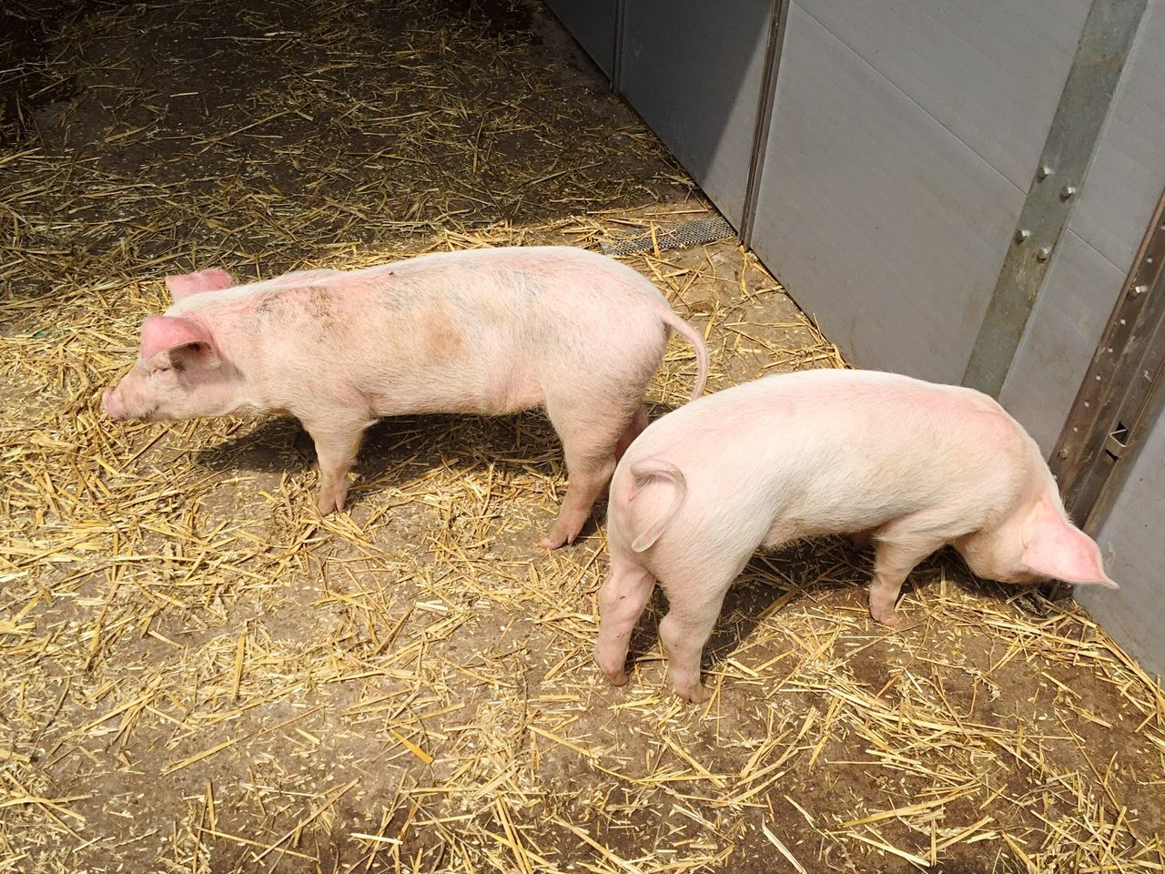 Pig Bait Nose Little Piglet Animals Feeding  Feeding Animals Young Animal Snout Young Sweet Chow Feed  Muzzle Farm Pig Stall Stall Pigsty Pink Animal Little Piglet Rosé Young Animal Hay