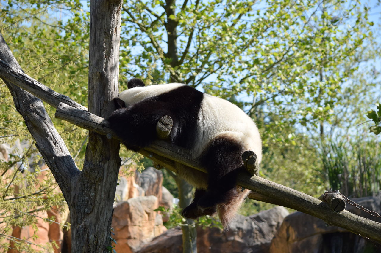 sleeping panda Animal Themes Animal Wildlife Animals In The Wild Bear Branch Climbing Close-up Day Eating Endangered Species Giant Panda Mammal Nature No People One Animal Outdoors Panda Panda - Animal Red Panda Sky Tree Tree Trunk