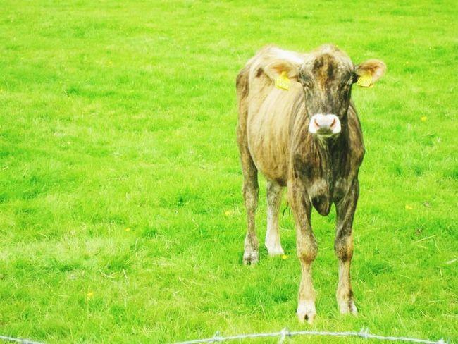 Cow Cows Animal Photography Animal_collection Animal Themes Natureetanimaux