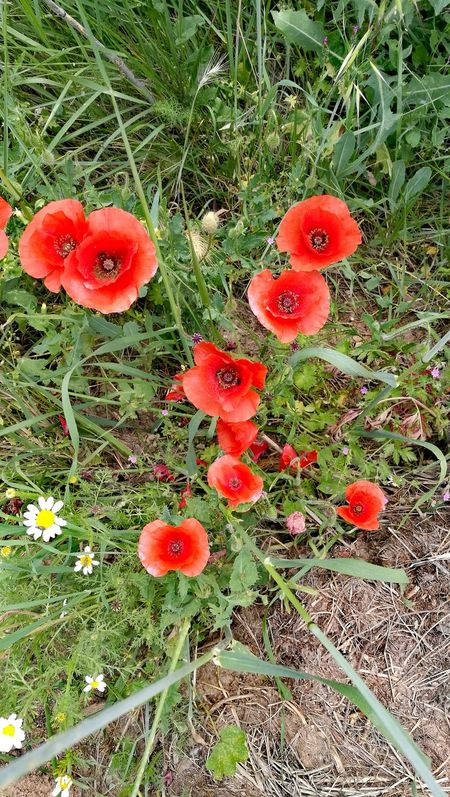 Amapolas Rojas Beauty In Nature Freshness Red Green Color Close-up Outdoors Grass No People Our World Thru My Eyes Full Frame Springtime Flower Head Fragility Poppies Glowing Wild Flowers.