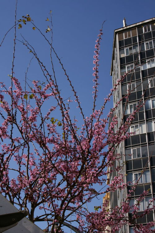 23/03/2016 Pink Flowers Spanish Spring Spring Flowers Spring In The City Street Photography Tree In Bloom Tree With Pink Flowers Urban Spring Fever Trees In Blossom Bloom Blooming