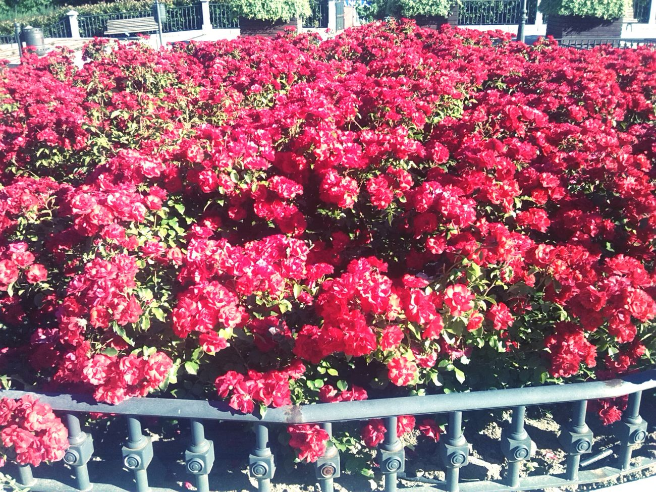 Aire de primavera.. Much Flowers Spring2015 Romantic Roses Are Red Pink Roses there are much flowers to see.