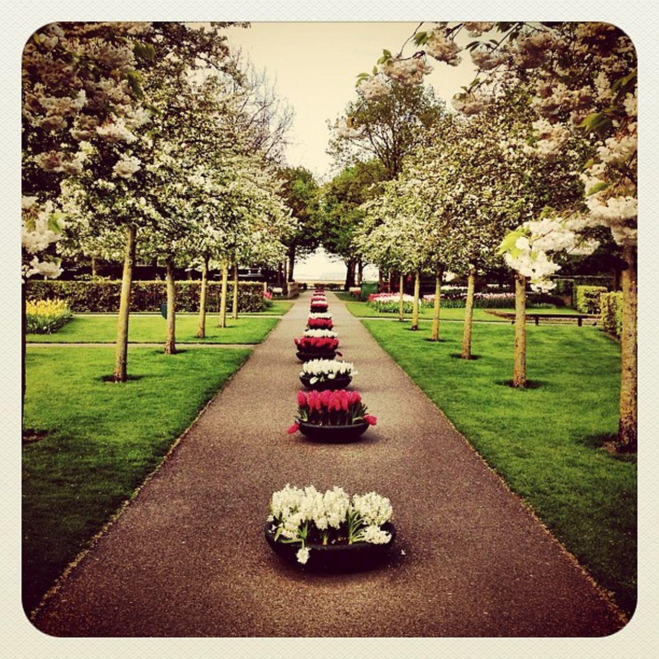 Blooming In #keukenhof #holland #jj_forum #earlybirdlove #ubiquography #ebstyles_gf #flower #park #garden Garden Flower Holland Park Keukenhof Earlybirdlove Jj_forum Ubiquography Ebstyles_gf