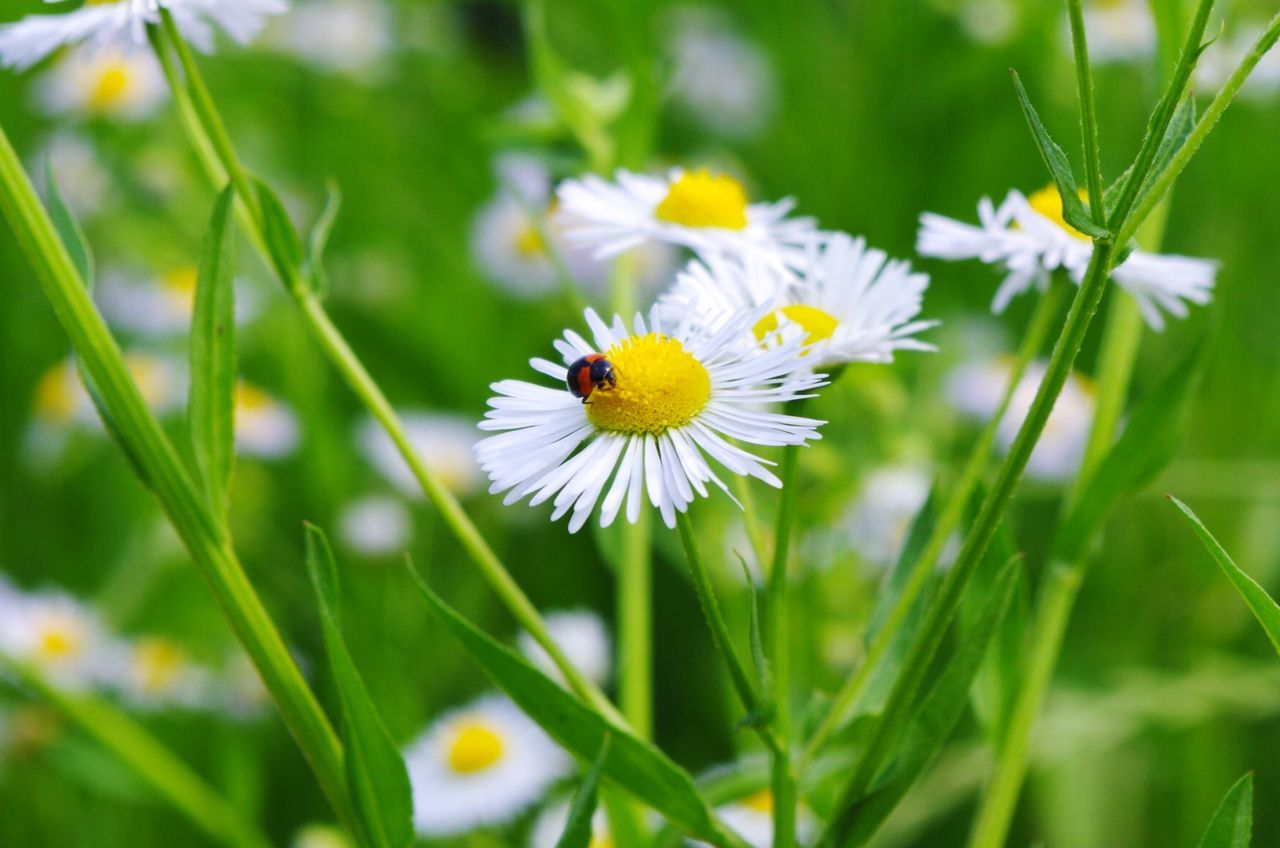 Close-Up Of Insect Pollinating White Daisy