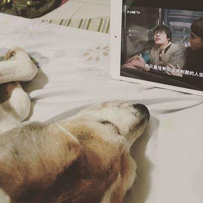 跟媽媽一起追劇 Mymilinbaby Beagle