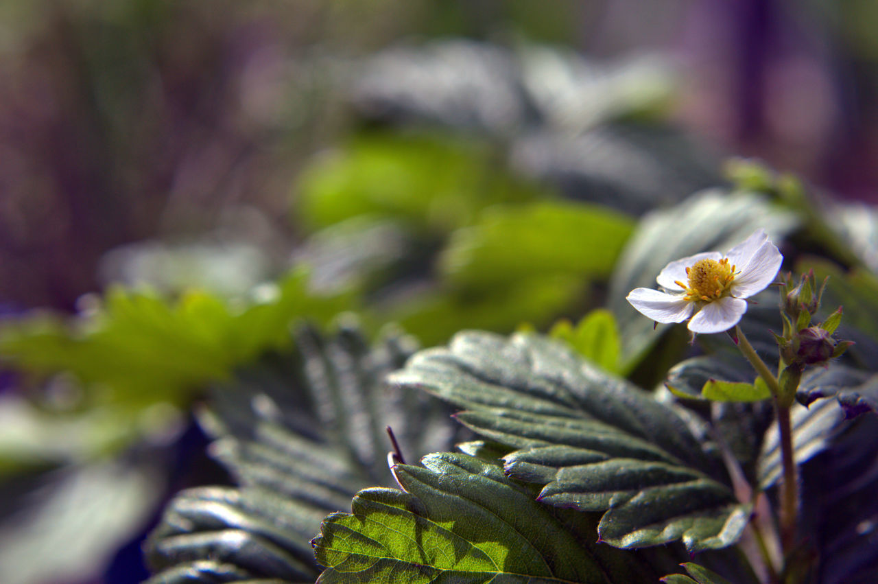 Queen Blue Bokeh Close-up Flower Garden Leaf Leafs Nature Nature_collection S Strawberry Strawberry's Flower The One Yellow The Great Outdoors - 2017 EyeEm Awards BYOPaper! Let's Go. Together.