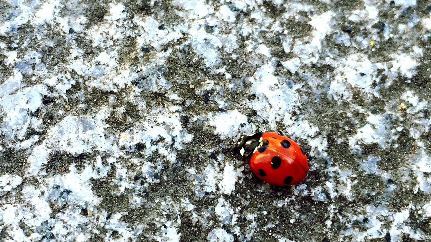 Ladybird Ladybug Spots Red Red Insect Littlelegs A Bugs Life Beautiful Beautiful Insect Camera Is My Eye Iphone6 IPhone Photography Iphoneonly Iphonephotography IPhoneography Pavement Pathway Nature's Diversities