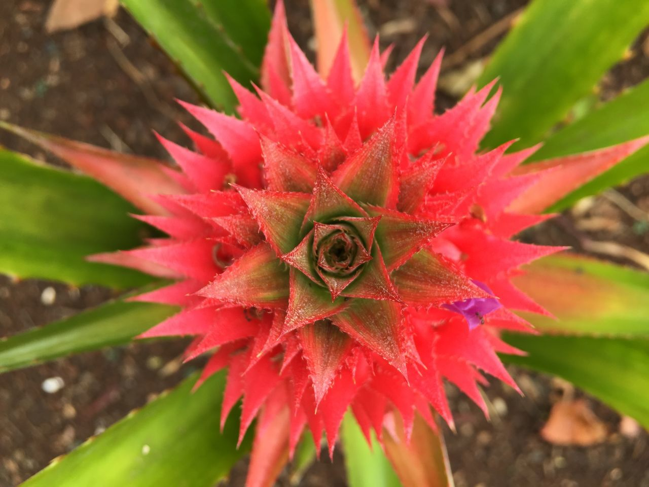 Pineapple Spanish Pineapple Pink Tropical Fruits IPhoneography