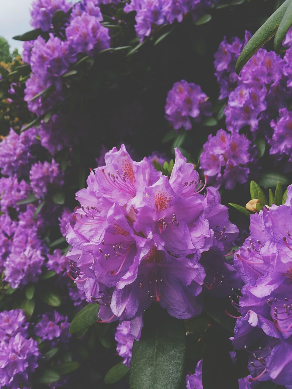flower, purple, beauty in nature, growth, nature, petal, fragility, no people, pink color, plant, freshness, outdoors, day, close-up, flower head