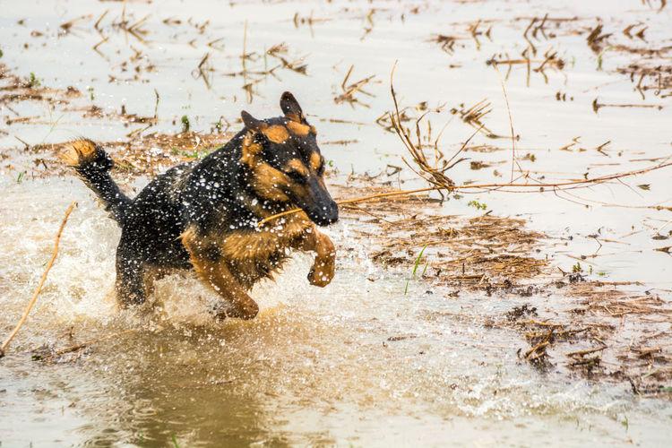Alsatian Animal Animal Themes Day Flooding German Shepherd Mammal Nature No People Outdoors Playtime Pouncing Rice Field Splash Spray Young Animal