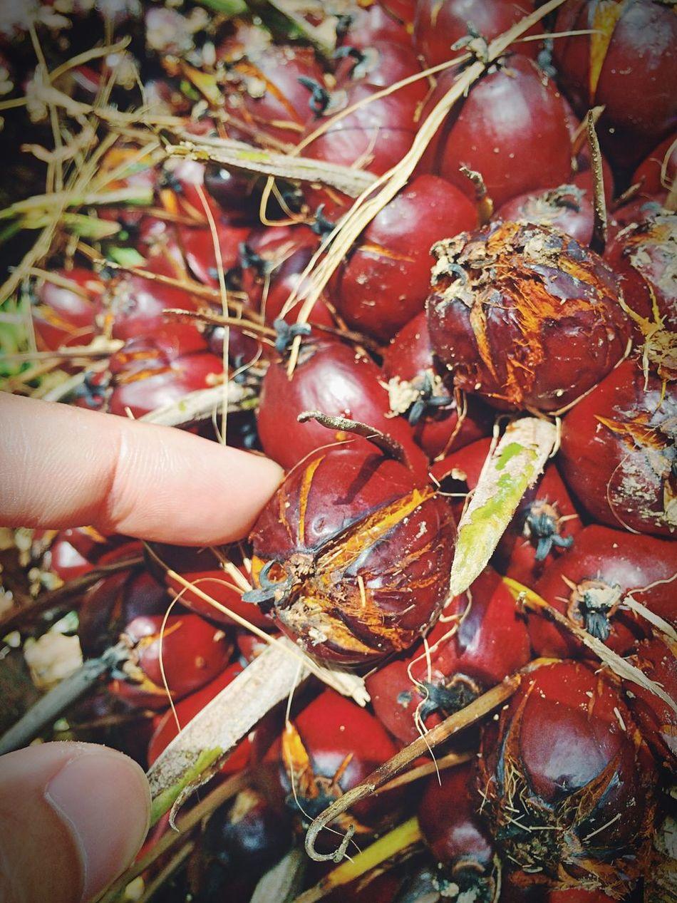 ปาล์มน้ำมัน Oil Palm Trees Palm Tree Thailand Satun