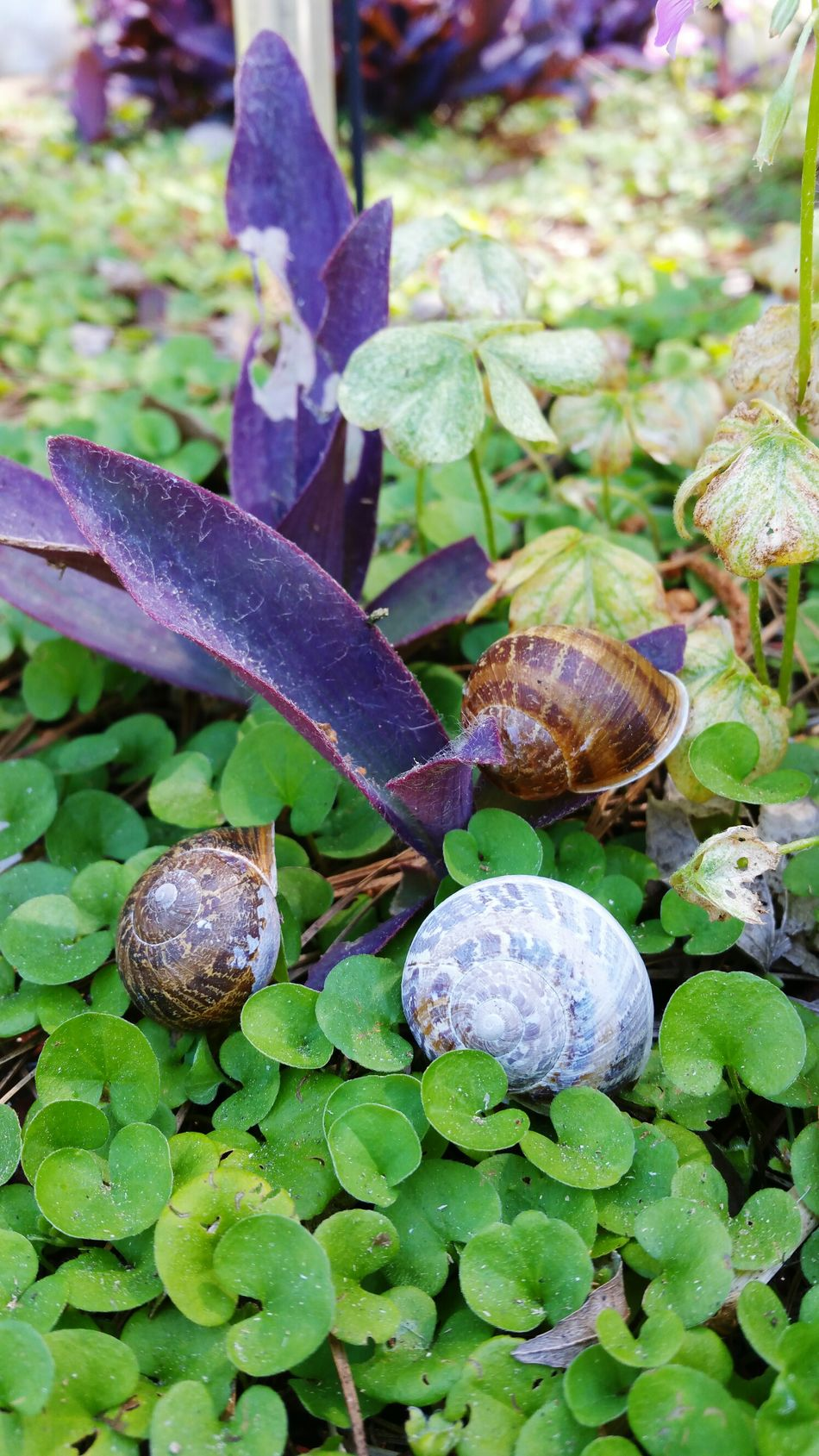 Shots from Thursday Leaf Nature Growth No People Close-up Plant Outdoors Animal Themes Day Freshness Beauty In Nature Gastropod Popular Photos In My Neighborhood Photography EyeEm Best Shots Growth Beauty In Nature EyeEm Nature Lover Snail Shells My Photography
