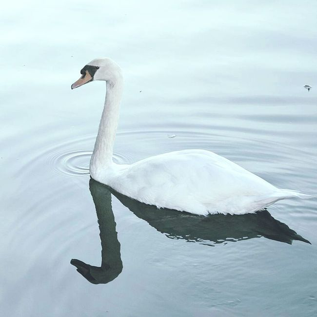 Swan Lake Animal Pets Reflection Water Bird Animals In The Wild Animal Themes One Animal Wildlife Lake Swimming Waterfront Tranquility Nature Scenics Tranquil Scene Sea Outdoors Non-urban Scene Beauty In Nature Day Zoology Floating On Water