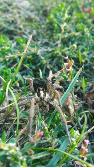 EyeEmNewHere Tarantula Lycosa Among The Trees Macro Spider Spider Nature_collection Eyenaturelover