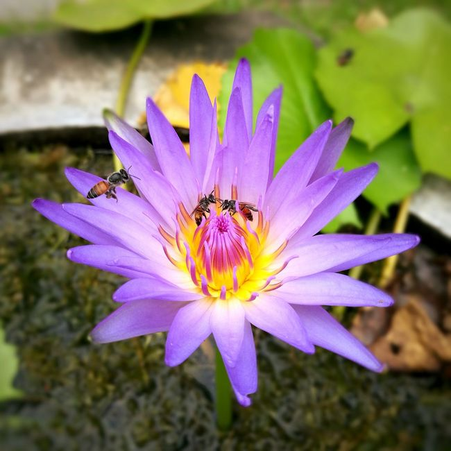Bees swarm lotus pollen. Flowers, Nature And Beauty Nature Photography Water Lily Lotus Blossom Lotus Leaves Lotus Temple Lotusflower Lotus Swarm Bees And Flowers Bee 🐝 Bee Naturelovers Flowers,Plants & Garden Flowers Flower Collection Flower Photography Garden Flowers Flowering Plant
