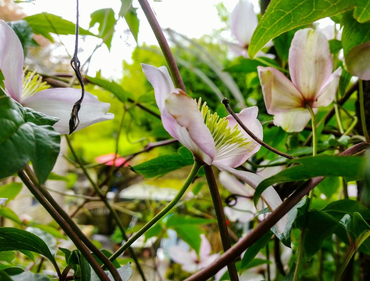 Clematis Petals Pink Color Clematis Vine Petal Petals Of Flowers Clematisphotography Petals Close Up Bud Clematis Flower Eyem Nature White Color Fragility EyeEm Nature Lover Flowerphotography Countrylandscapes Springtime Botany, Freshness Rainy Day Petal, Petals, Leaf, Leaves, Beauty In Nature Conservation Still Life Photography Cream Colored Flower Head