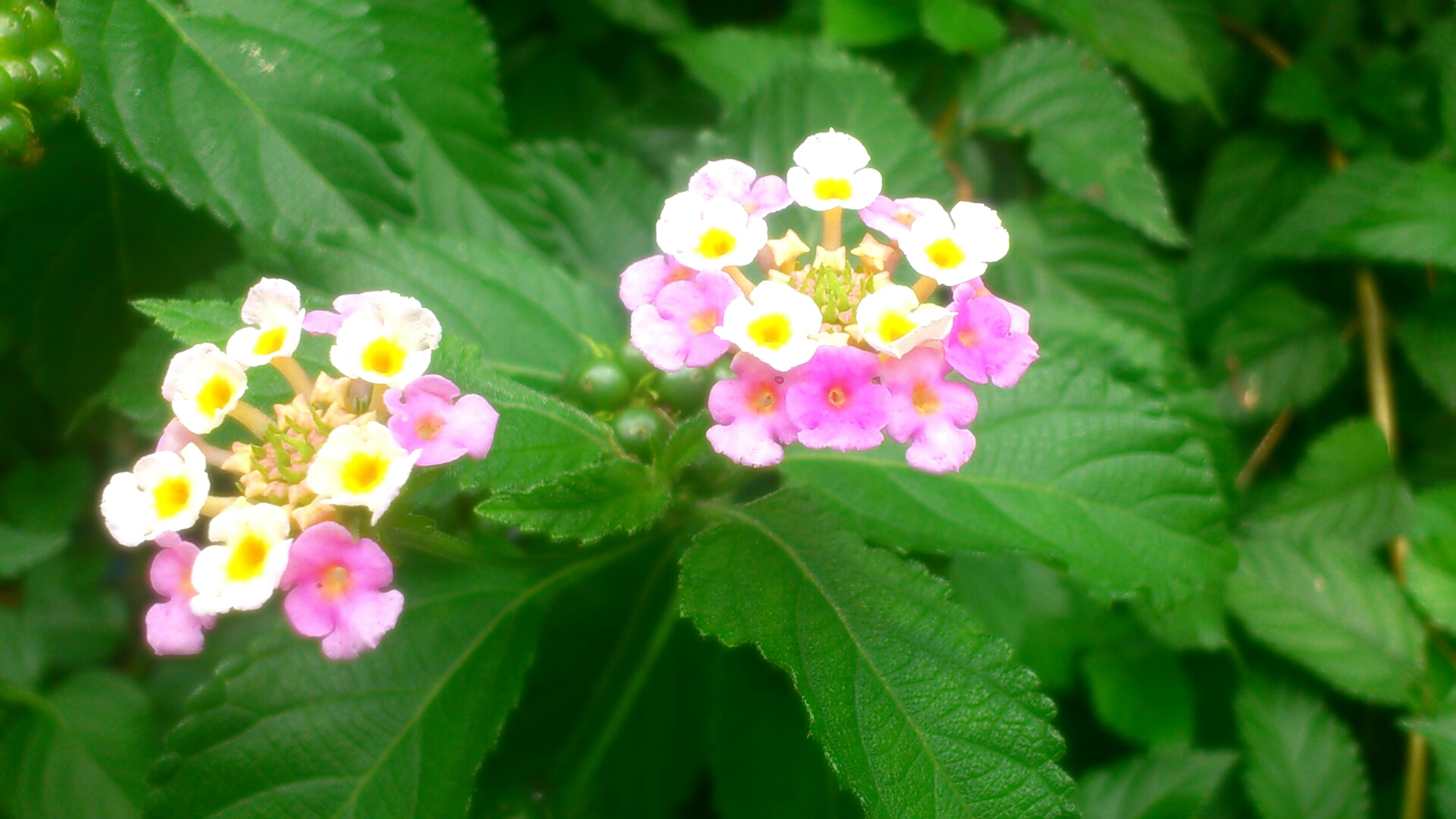 flower, freshness, petal, leaf, fragility, growth, beauty in nature, flower head, blooming, green color, nature, plant, close-up, focus on foreground, in bloom, pink color, blossom, park - man made space, white color, day