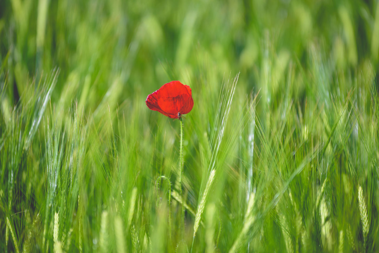 Beauty In Nature Close-up Day Field Flower Flower Head Fragility Freshness Grass Green Green Color Growth Insect Nature No People Outdoors Plant Poppy Red Selective Focus The Great Outdoors - 2017 EyeEm Awards Tranquility