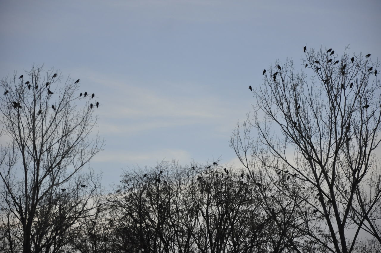 bare tree, animals in the wild, animal themes, tree, bird, flying, nature, outdoors, animal wildlife, one animal, day, branch, low angle view, no people, sky, beauty in nature, spread wings, bird of prey