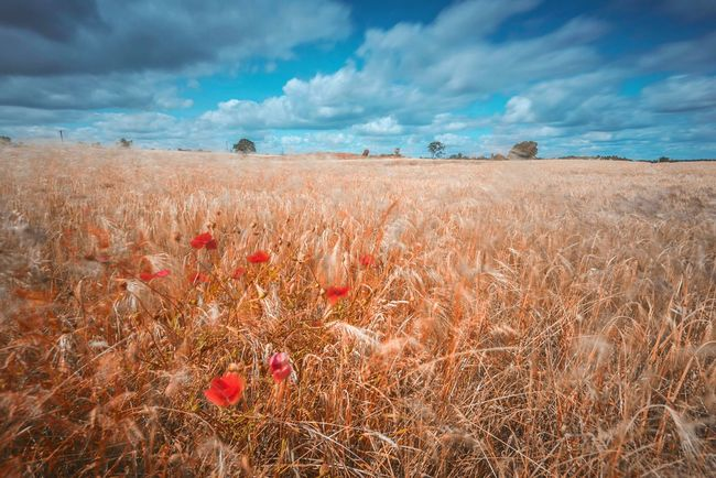 Summer Dreams Fieldscape Fields Of Gold Field Poppies  Blue Sky Fantasy Landscapes Long Exposure Fields And Sky Bold Colours Crops In The Sun Beauty In Nature Hay Field Barley Field British Summer Countryside In The Country Clouds And Sky Blue And Gold Northamptonshire Summertime Bright Colours The Great Outdoors With Adobe The Great Outdoors - 2016 EyeEm Awards