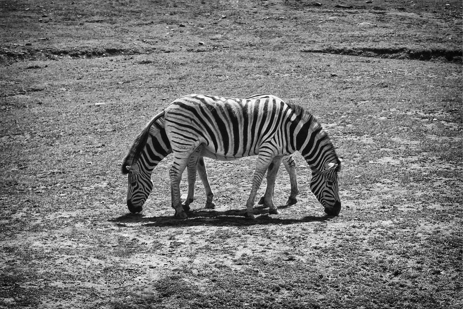 Animals In The Wild Striped Zebra Animal Themes One Animal No People Full Length Nature Animal Wildlife Outdoors Day Arid Climate Mammal Blackandwhite Symmetry Mirror EyeEmNewHere
