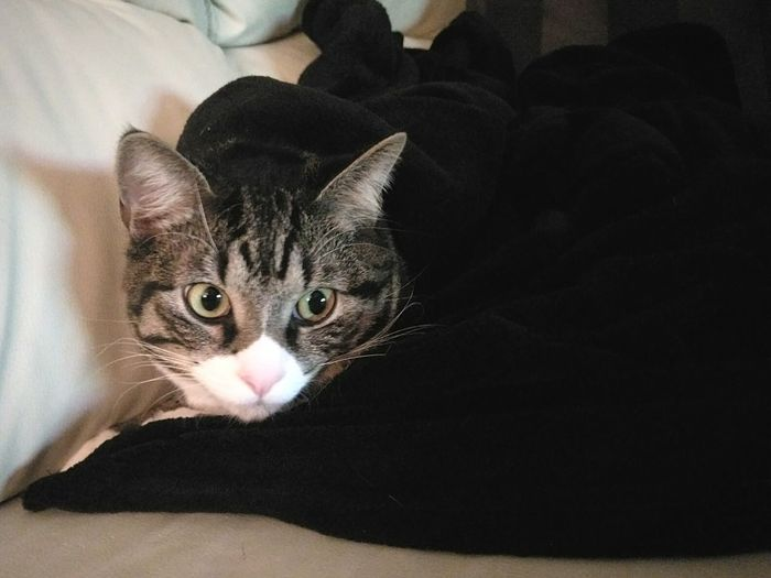 The cat loves to taken a nap under the fleece blanked. Pets Domestic Cat Animal Indoors  Domestic Animals One Animal Animal Themes Lying Down Animal Head