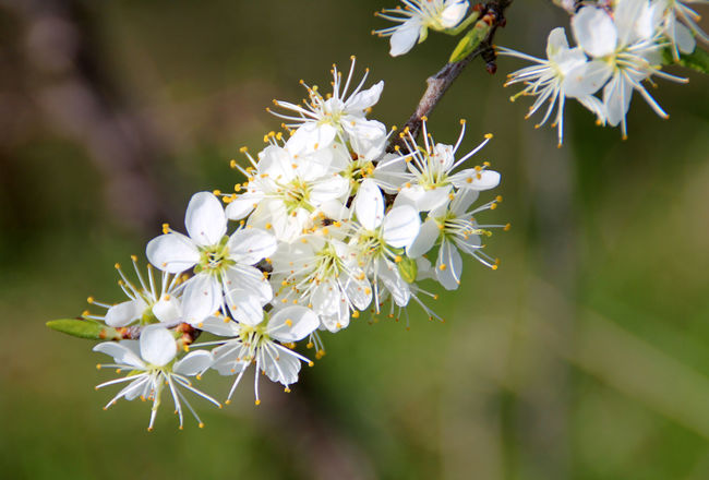 Sloe in Blossom Beauty In Nature Blooming Blossom Botany Flower Flower Head Focus On Foreground In Bloom Nature Petal Plant Pollen Selective Focus Sloe Sloes Spring Spring Flowers Springtime Stamen Stem Twig White White Color