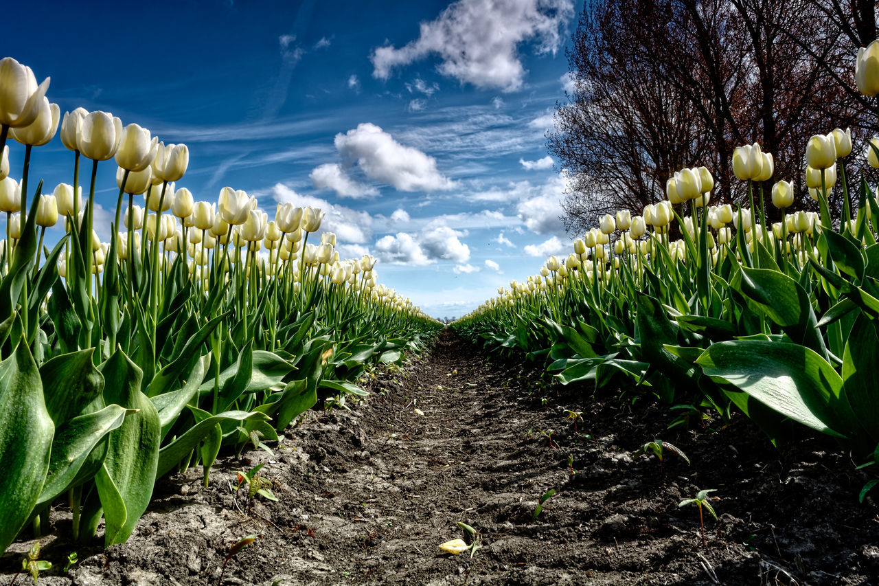 The Grand Parade Agriculture Cloud - Sky Day Field Growth Landscape Nature No People Outdoors Plant Sky Tulips