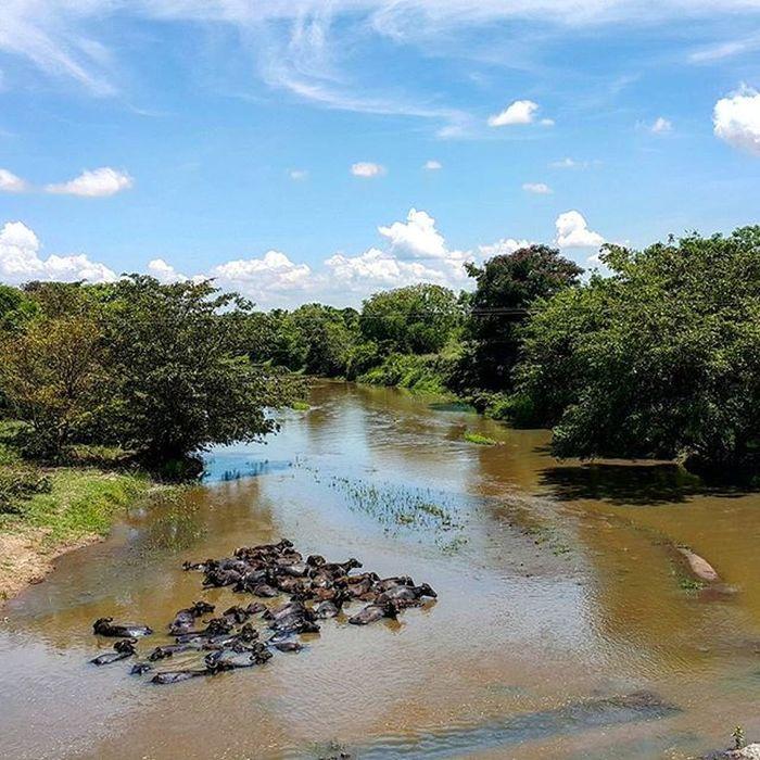 Стадо диких буйволов релаксирует в реке шриланка шриланка2016 SriLanka Srilanka2016 турсемействахеваге