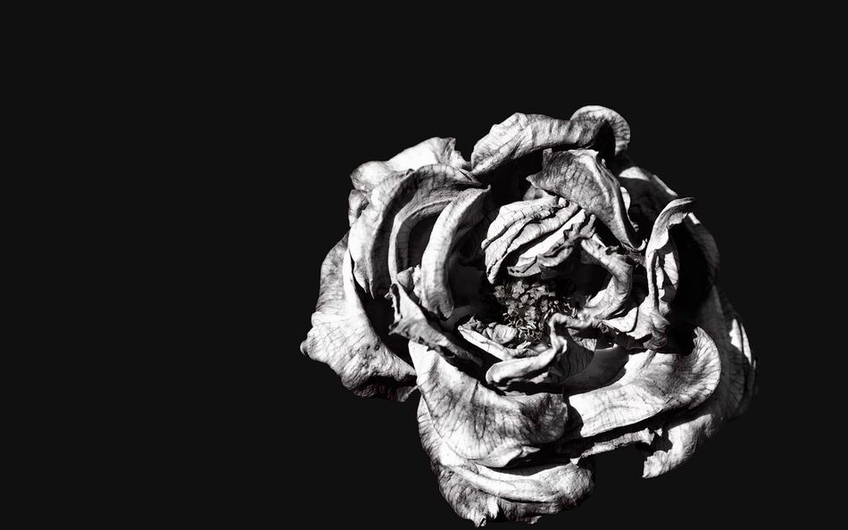 Withered Wabi-sabi Fragility Flower Fineart Nature Minimalism Monoart Monochrome Close-up Blackandwhite Beauty In Nature EyeEm Best Shots - Black + White Fine Art Photography Black & White Flower Head Black And White Black Background Monochromatic EyeEm Rose - Flower