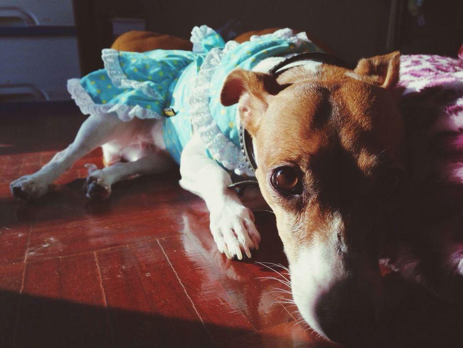 Ilovemydog นอนอาบแดด Jackrussell