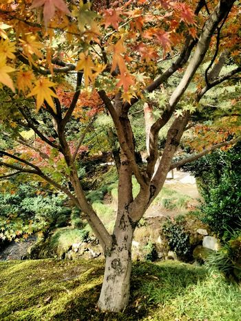 Kenroku-en Garden in Kanazawa, Japan Fall Colors Fall Leaves The Great Outdoors - 2015 EyeEm Awards Fall Leaves Fall Beauty The Traveler - 2015 EyeEm Awards The Purist (no Edit, No Filter) Japanese Garden The Places I've Been Today Japanese Style Japanese Culture Japanese  Japan Kenrokuen Garden Kanazawa