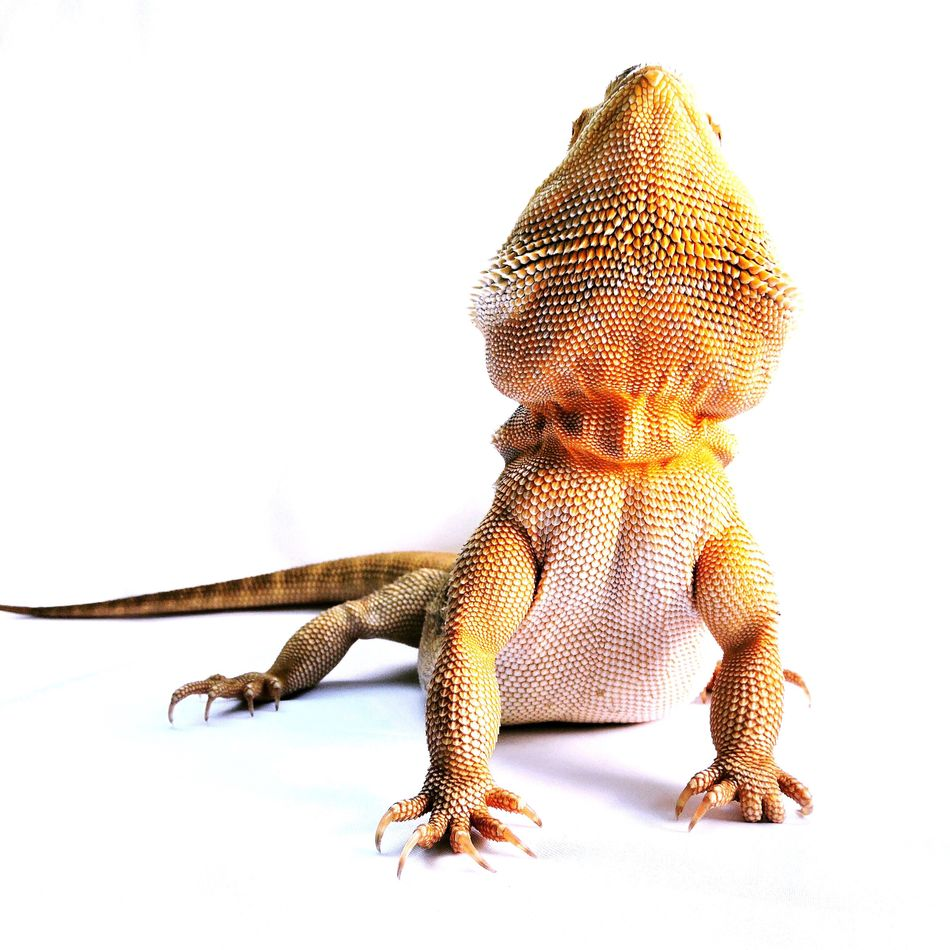 Bearded Dragon White Background Animal Themes Studio Shot Reptile One Animal Close-up Nature Healthy Advertising Close Up Lizard Native Australian Australia Orange Yellow Freshness Looking Up Beard Spiked Spikes Detail Contrast Reptile