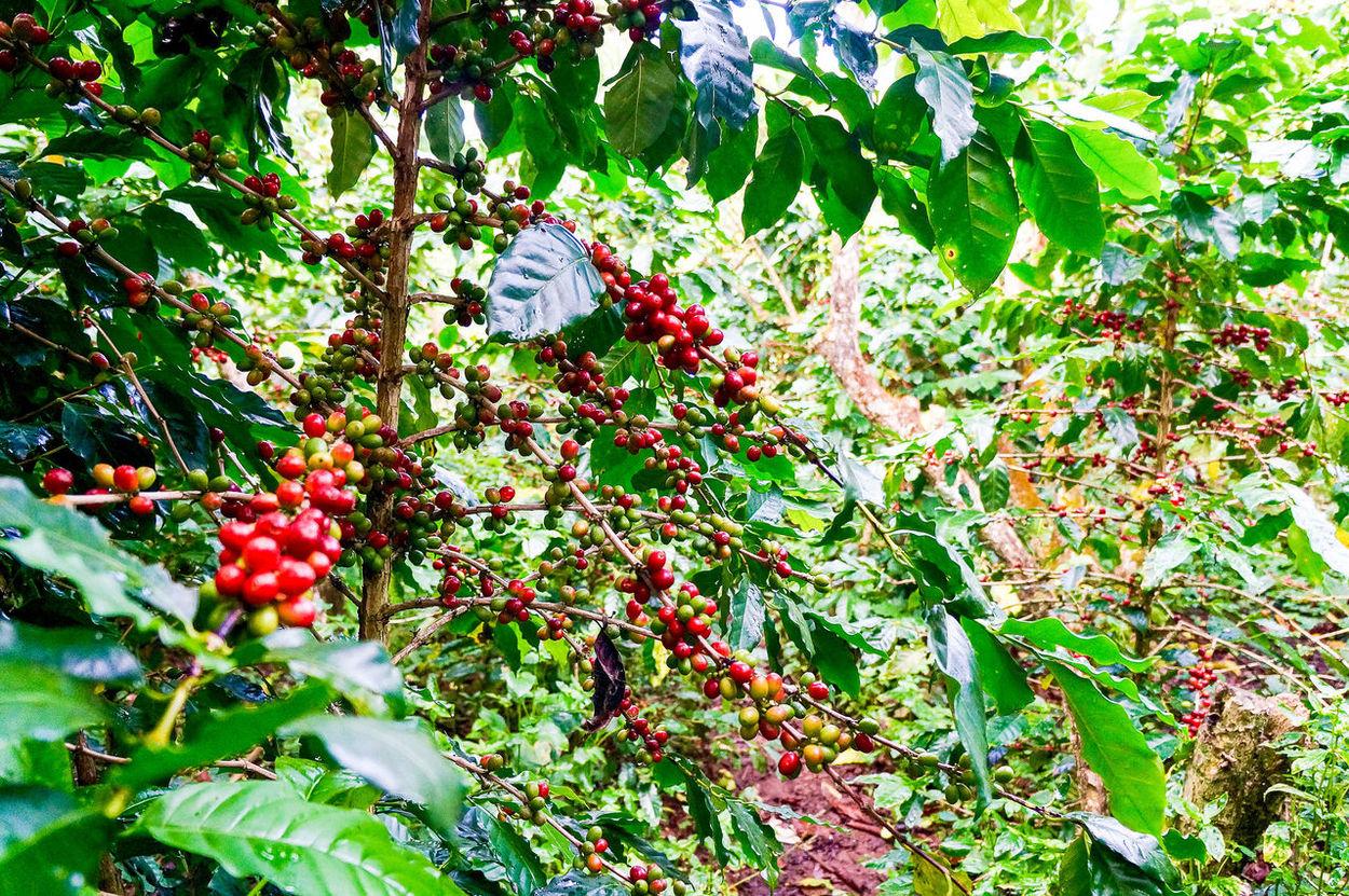 Arabica Typica, Laos Coffee Green Nature Plants Arabica Arabica Typica Arabicacoffee Coffee Cherries Coffee Harvest Coffee Story Coffee Tree Farmers Field Harvest Jungle Ripe Ripe Coffee Specialty Coffee