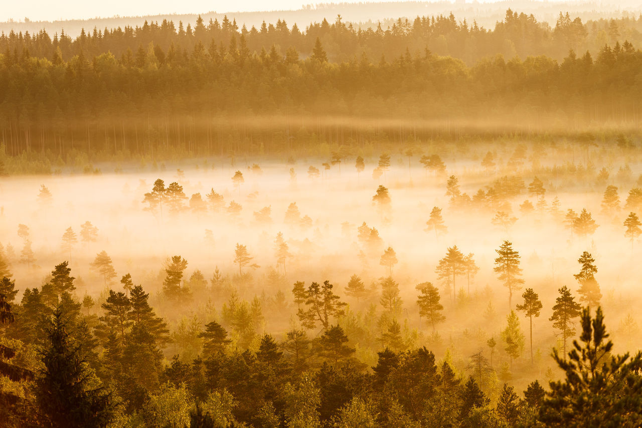 Misty trees growing in the Torronsuo Swamp in Finland on an early morning. Beauty In Nature Day Fantasy World Focus On Foreground Gold Colored Landscspe Marsh Marshland  MIS Mist Misty Morning Nature No People Outdoors Peace And Quiet Peaceful View Scenery Scenics Sunny Morning Sunshine Swamp Tranquil Scene Tree Wetlands Yellow Color