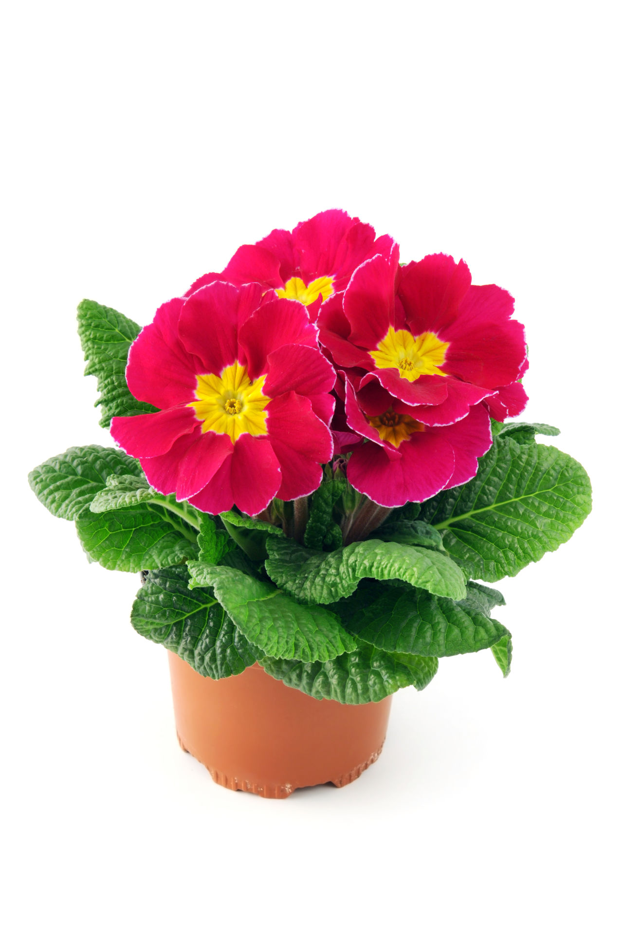 pink red primula on isolated white background. Close-up Flower Flower Head Flowerpot Freshness Isolated Isolated On White Isolated White Background Pink Flower Plant Potted Potted Flower Potted Flowers Potted Plant Primrose Primroses Primula Primulas Red Flower Studio Shot White Background Yellow Flower