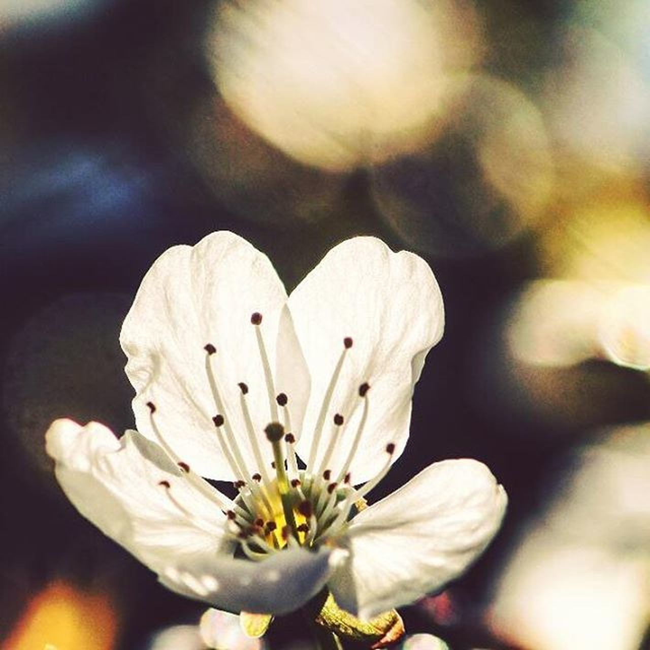 Hey ~ Pixies 🎶 Whateverthishastodowiththisphoto Flower Whyilovespring Cherryblossom Spring Blur Bokeh Bokehlicious Macro_secrets Rsa_nature Rsa_flowers Canon_photos Canon_official Macro Instaamici Nature_perfection Whywelovenature Nature Instagoodmyphoto Vscocam Igersgermany Diewocheaufinstagram Worldbestgram Flowerstagram Flowersofinstagram floweroftheday 🌸