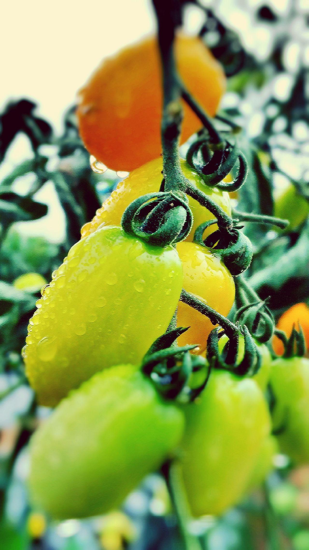 Cherry Tomato Tomato Field Rain Drops Growing Vegtables Rainy Days