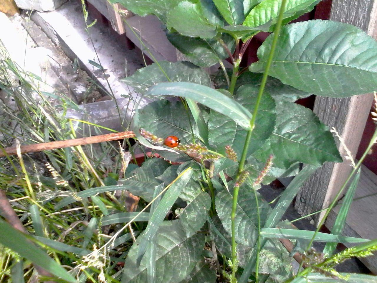 Green Leafs Ladybeetle Grass Plants Ladybug Unedited Wolfzuachis Eyeem Market