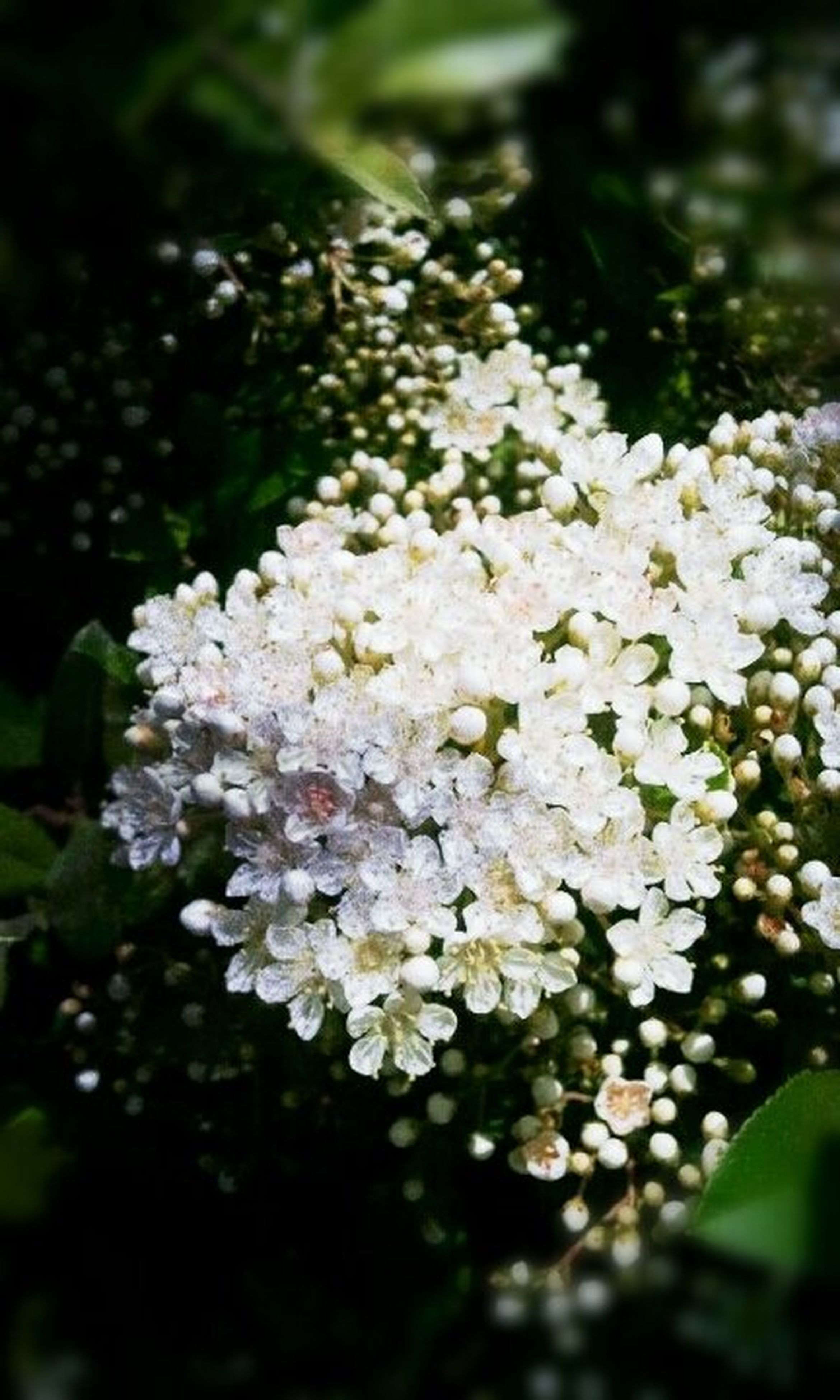flower, freshness, growth, petal, fragility, white color, beauty in nature, nature, blooming, focus on foreground, close-up, flower head, plant, in bloom, blossom, park - man made space, tree, selective focus, outdoors, springtime