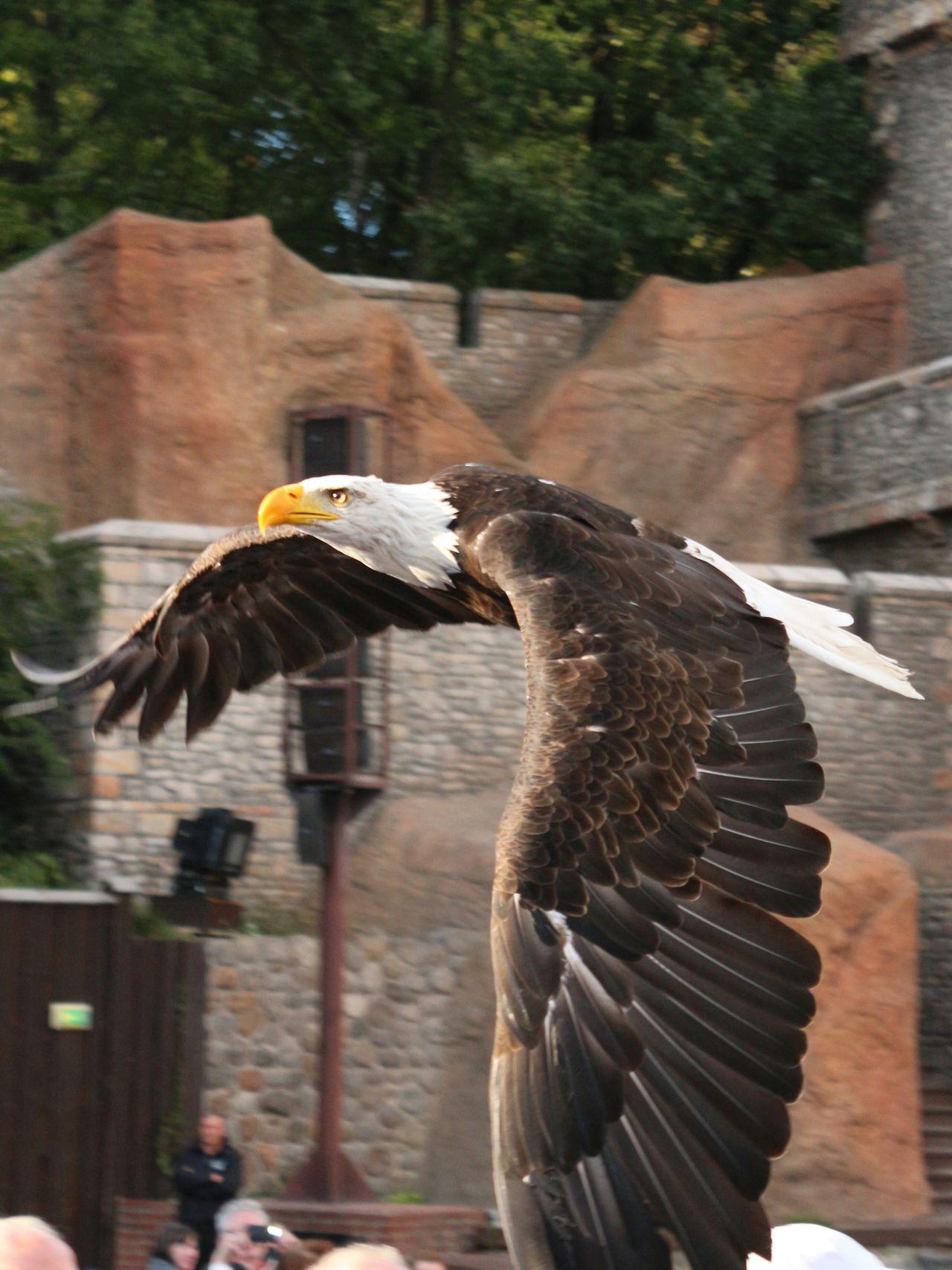 Beautiful stock photos of bald eagle, Animal Wing, Animals In The Wild, Bald Eagle, Bird