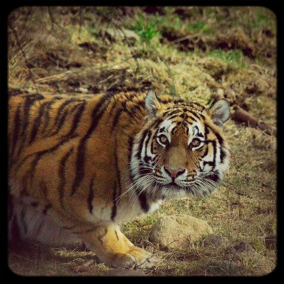 Tiger Highland Wildlife Park