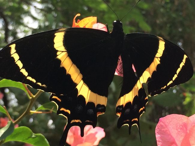 """Butterflies are nature's angels, they remind us what a gift it is to be alive."" -Robyn Nola Nature Black Yellow Beautiful"