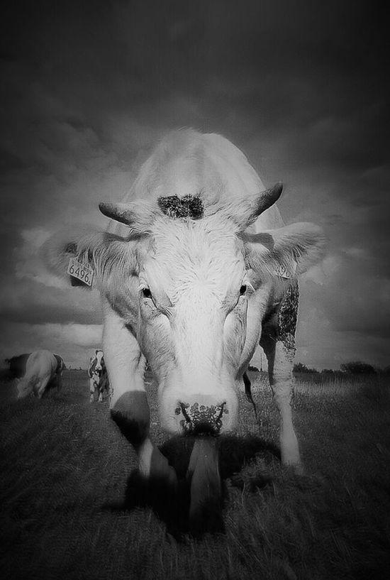 Minotaurus Minotaur Minotauro EyeEmNewHere Holy Cow CowArts Animalportrait Bnw Animal Photography Farmlife Animal Themes Animals In The Wild Animal Wildlife Animalportraits Bnwportraits Dierenportret Beware Of The Bull Beware Of Bull