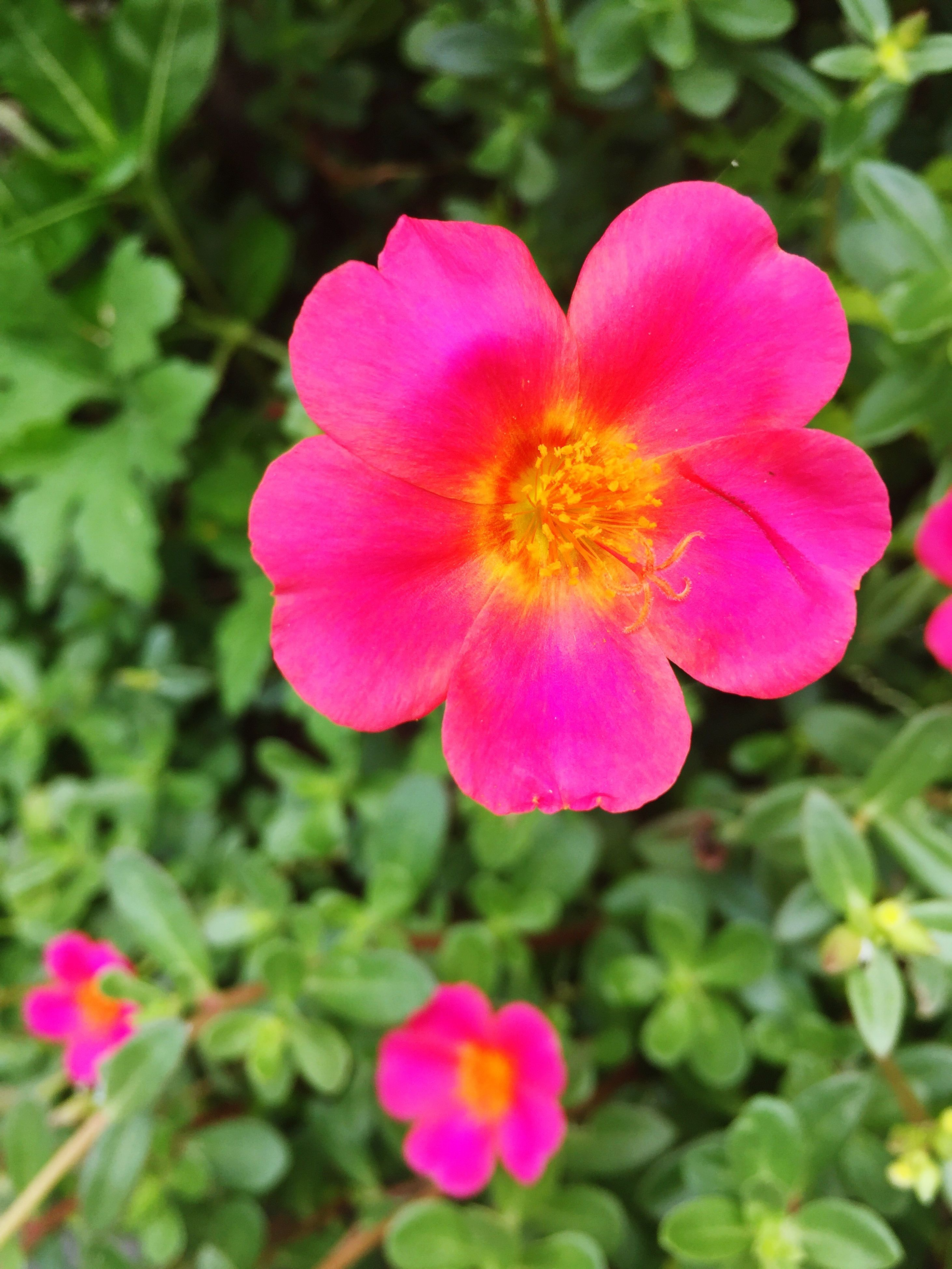 flower, petal, freshness, fragility, flower head, growth, pink color, close-up, beauty in nature, nature, in bloom, springtime, plant, focus on foreground, pink, single flower, blossom, botany, day, outdoors, blooming, vibrant color, focus, no people, green color