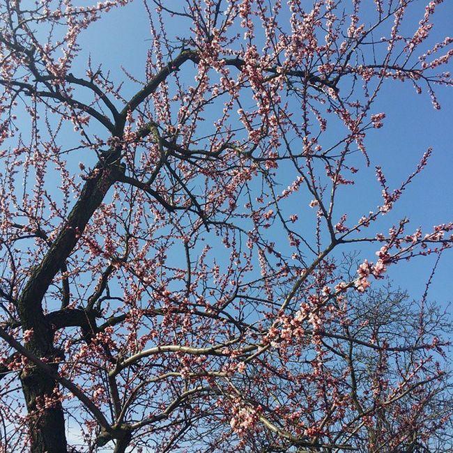 Wiosna Natura Kwitnąca Unhappy Bee Duzo Pszczół Brzoskwinia Jesu Jakie To  Dobre