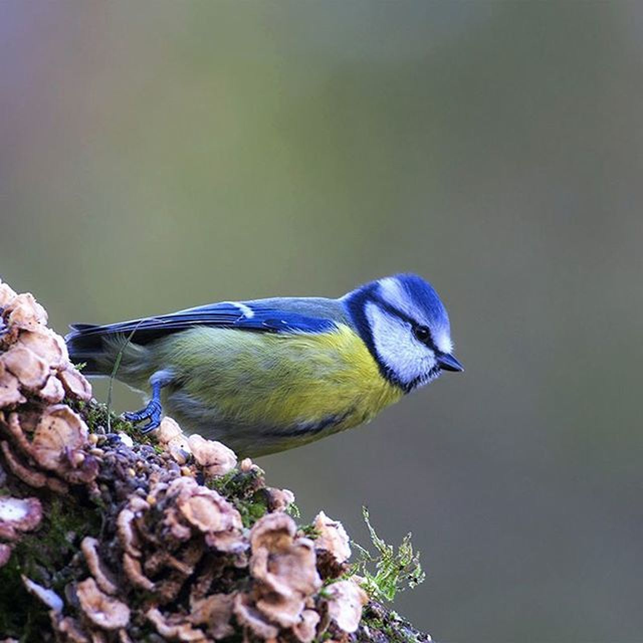 Cyanistes caeruleus, Cinciarella ,  Blue tit, Ornithology  Ornitologia Photo Fotografianaturalistica Fotos Nature Wild Wildshot Wildnature Bird Birdwatching Instagood Instagram Lovephotography  LovePhoto Canon Canon Reflex