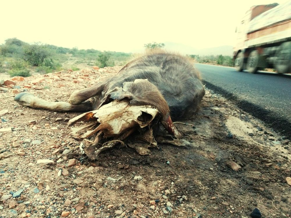 One Animal Dead Road Accident