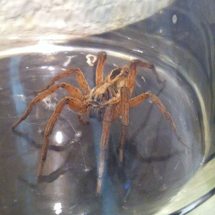 The spider my mother caught in her house. WTF Hellno OhHellNo Screwthat huge spider idk whatkindofspideristhis umm speechless goosebumps